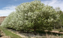 Large Crabapple Trees
