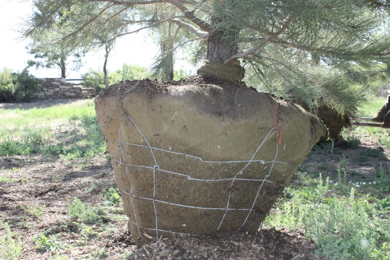 Our Tight Tree Root Ball