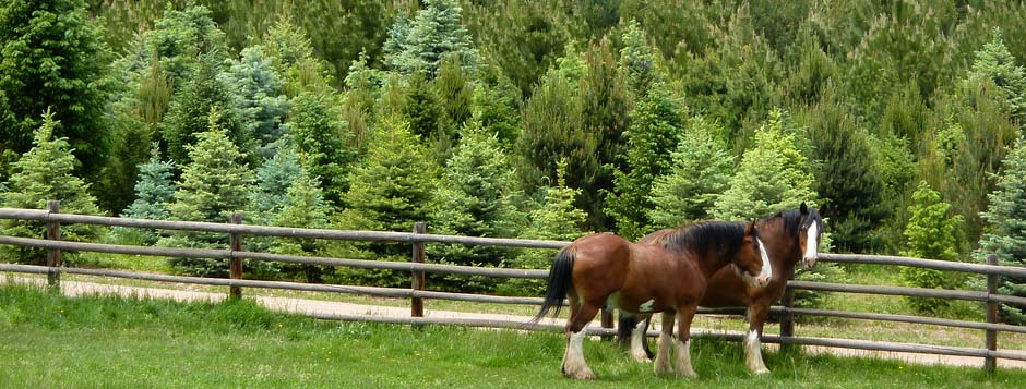 Clydesdales_and_Evergreens